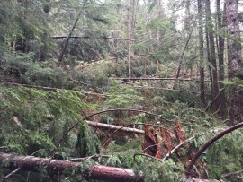 Blowdown on the Granite Creek trail beyond the bridge. Photo by Kevin Smythe
