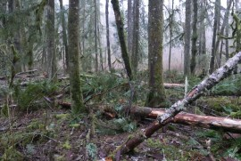 Blowdown on the Sitka Spruce trail